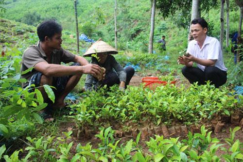 Kỹ thuật trồng chè xanh đòi hỏi phải có mật độ phù hợp và giống cây tốt