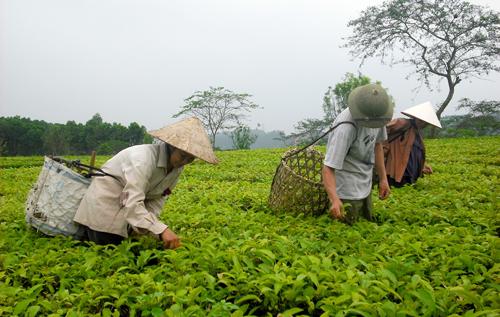 Áp dụng các biện pháp kỹ thuật trong trồng, chăm sóc chè, năng suất chè của xã Thạch Kiệt đạt 9 tấn/ha